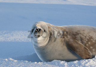 Portrait snarling crabeater seal on a sunny day.