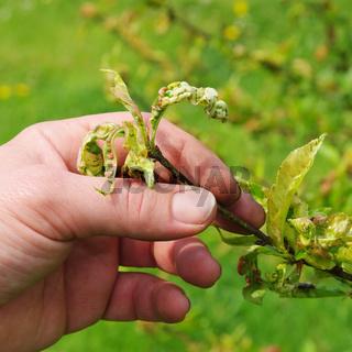 Kräuselkrankheit  - Leaf curl 07