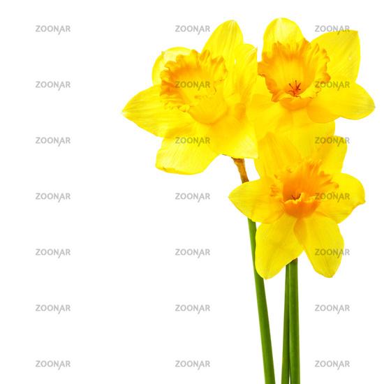 Yellow narcissi