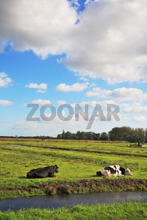 Corpulent cows have a rest
