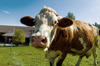 Milchkühe auf der Sommerweide