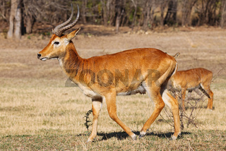 Puku im South Luangwa Nationalpark, Sambia; Kobus vardonii; puku, South Luangwa Nationalpark, Zambia