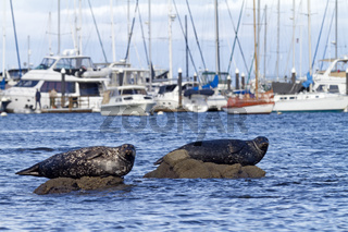 Seehunde im Hafen / Phoca vitulina