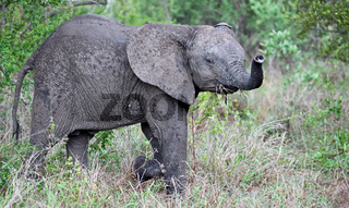 Junger Elefant im Regen, Kruger Nationalpark Südafrika; young african elephant in the rain, south africa, wildlife