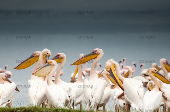 Pelicans by Lake Nakuru