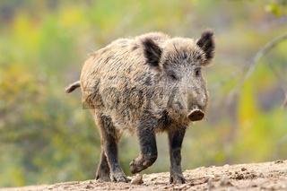 wild boar ( Sus scrofa ) coming towards camera