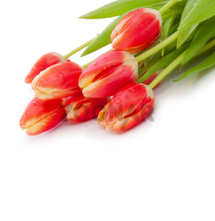 Red  tulips background.