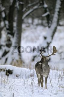 Damhirsch - (Damschaufler im Wnter) / Fallow Deer stag in winter / Dama dama (dama) - (Cervus dama)