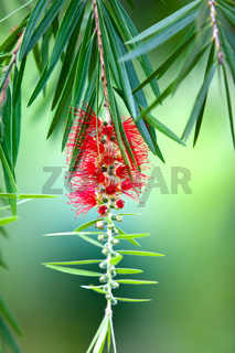 Red bottle-brush tree (Callistemon) flower