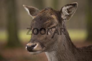 Damwild, Dama dama, fallow deer