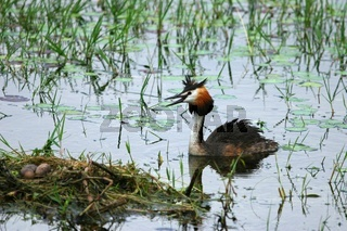 eared grebe swimming