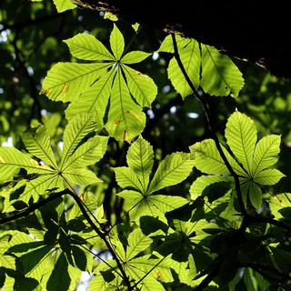 Blätterdach Kastanie