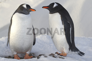 male and female penguins Gentoo near the nest