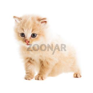 one beige kitten