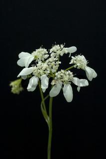 Strahlenbreitsame, Orlaya grandiflora