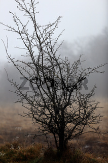 Common hawthorn, Crataegus monogyna, Weissdorn