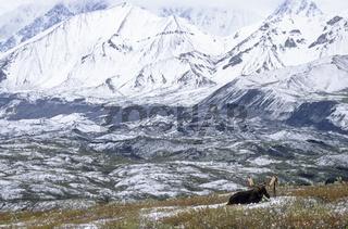 Elchbulle ruht in der verschneiten Tundra vor der Alaskabergkette - (Alaskaelch) / Bull Moose in front of the Alaska-Range resting in the snowy tundra - (Alaska Moose) / Alces alces - Alces alces (gigas)