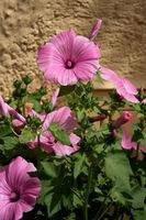 Malvenblüten, Malva, Hibiskus
