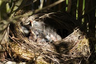 Turdus merula, Amsel, Blackbird, Jungvogel im Nest