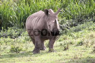 weißes Nashorn