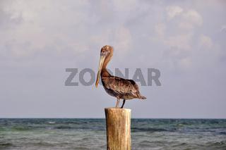 Pelikan auf der Jagd