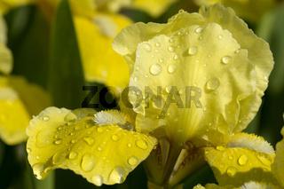 Gelb bluehende Schwertlinien-Art  (Iris, iridoideae)