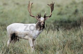Damhirsch - (Weisser Damschaufler) / Fallow Deer - (White stag) / Dama dama (dama) - (Cervus dama)