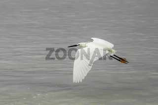 Yellow Footed Egret in Flight
