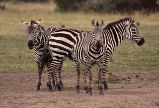drei Zebras auf einer Wiese