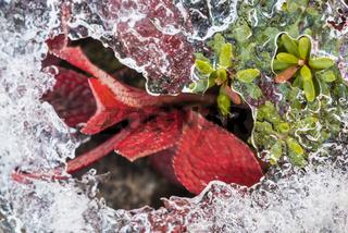 Alpenbaerentraube (Arctostraphylos alpina (L.) SPRENG; englisch: Black Bearberry) und Zwittrige Kraehenbeere (Empetrum hermaphrodicum HAGERUP; englisch: Crowberry) im Eis Lappland