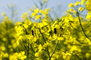 Honigbienen auf Rapsblüten im Rapsfeld