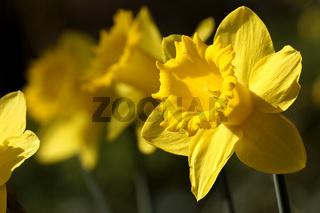 Narzissenart, Zuchtform, (Narcissus)