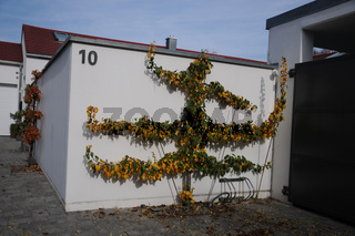 Pyrus communis, Birnbaum, Pear tree, Spalier, Herbst