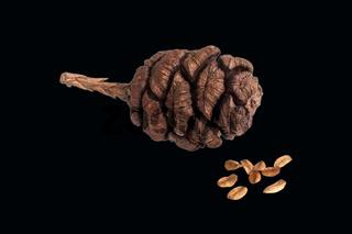 Mammutbaum, Samen, Zapfen, Sequoiadendron,