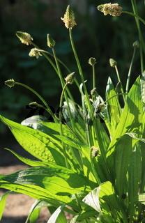 Spitzwegerich, Heilpflanze des Jahres 2014