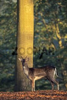 Damhirsch - (Damspiesser im Buchenhochwald) / Fallow Deer brocket in beech forest / Dama dama (dama) - (Cervus dama)