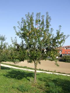 Malus domestica Glockenapfel, Apfel, Apple