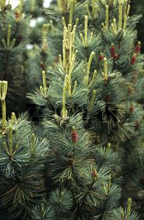 Schmalwuechsige Pummelkiefer, Pinus pumila, Saentis