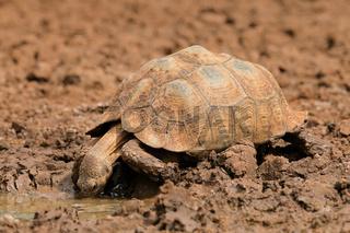 Leopard tortoise drinking water
