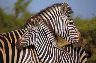 Kuschelnde Steppenzebras, Südafrika, Kruger Nationalpark, South Africa, Plains Zebra, Perissodactyla, Equus quagga
