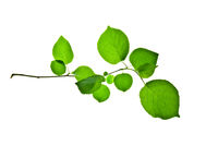 Twig-with-rounded-green-leaves-isolated-on-white-background