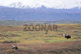 Elchschaufler in der Tundra vor der Alaska-Bergkette - (Alaska-Elch) / Bull Moose standing in the tundra in front of the Alaska-Range - (Alaska Moose) / Alces alces - Alces alces (gigas)