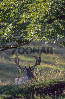 Damhirsch - (Damschaufler zur Brunftzeit mit abnormen Geweih) / Fallow Deer stag in the rut with abnormal antler / Dama dama (dama) - (Cervus dama)