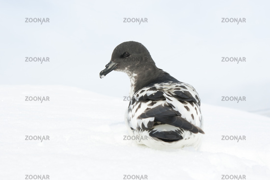 Cape pigeon sitting on a slope in the Antarctic.