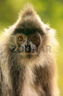 Silvered leaf monkey, Sepilok, Borneo, Malaysia