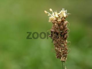 Spitzwegerich / Plantago lanceolata