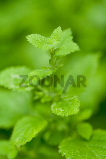 fresh green aromatic mint lemon balm  peppermint macro closeup