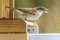 Singing sparrow on a wooden edge