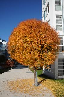 Prunus fruticosa Globosa, Kugelsteppenkirsche