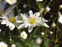 Anemone blanda Androsace septentrionalis Star Dust